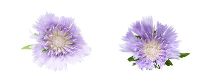 Flower head of scabiosa Stock Images