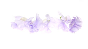 Flower head of sweetpea in a white background Royalty Free Stock Photos