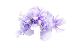 Flower head of sweetpea in a white background Royalty Free Stock Photo
