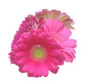 Flower head of the transvaa Royalty Free Stock Photos