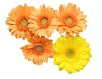 Flower head of the transvaal daisy Royalty Free Stock Image