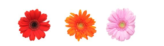 Flower head of transvaal daisy Stock Images