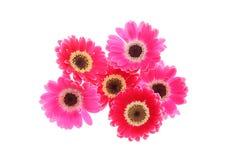 Flower head of transvaal daisy Stock Photo