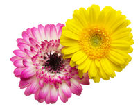 Flower head of the transvaal daisy Royalty Free Stock Photos