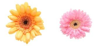 Flower head of the transvaal daisy Stock Photography