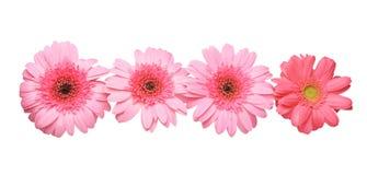 Flower head of the transvaal daisy Stock Photos
