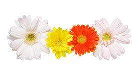 Flower head of the transvaal daisy Royalty Free Stock Photography