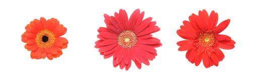 Flower head of the transvaal daisy Royalty Free Stock Photo