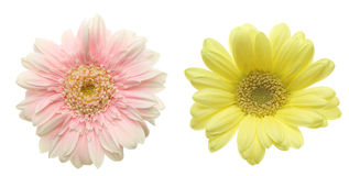 Flower head of transvaal daisy Stock Photos