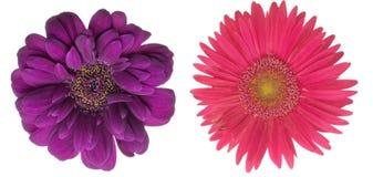 Flower head of the transvaal daisy Royalty Free Stock Photos