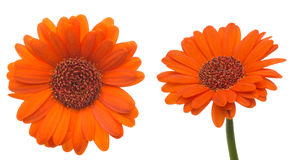 Flower head of the transvaal daisy Stock Photos
