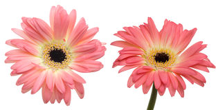Flower head of the transvaal daisy Stock Photo
