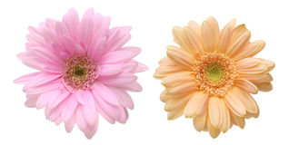 Flower head of the transvaal daisy Stock Image