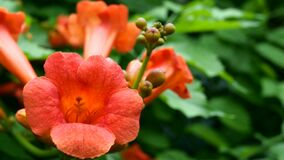 Flower head of tropical flower campsis radicans, cow itch vine, hummingbird vine, trumpet creeper red color swinging on
