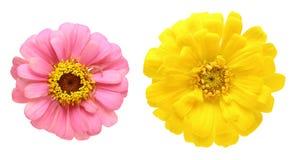 Flower head of zinnia Stock Image