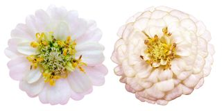 Flower head of zinnia. Pictured flower head of zinnia in a white background stock photos