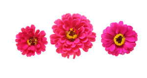 Flower head of zinnia Stock Images