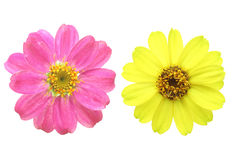 Flower head of zinnia Royalty Free Stock Image