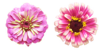 Flower head of zinnia Stock Image