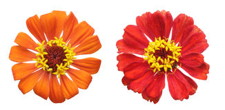 Flower head of zinnia Royalty Free Stock Images
