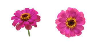 Flower head of zinnia Royalty Free Stock Photo