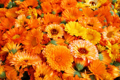 Flower heads marigold (Calendula officinalis) Royalty Free Stock Image