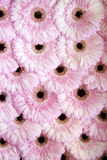 Flower heads of pink gerbera Royalty Free Stock Photo