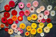 Flower heads on Slate. Colorful Daisy flower heads on black slate Stock Photography