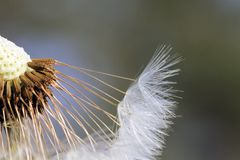 Dandelion seeds. Soft focus. Close-up. The flower heads are yellow color, and are open in the daytime, but closed at night. The tuft of hairs on each seed of Royalty Free Stock Photos