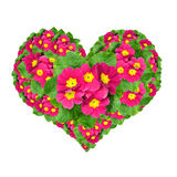 Flower heart. From primroses isolated on white background Stock Photos