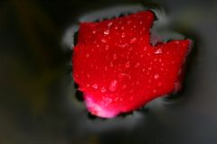Flower heart. Wet rose heart on water surface royalty free stock images