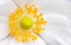 Flower heart. The heart and stamen of a japanese anemone Royalty Free Stock Photos