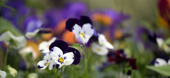 Flower heartsease or Viola tricolor Stock Photos