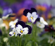 Flower heartsease or Viola tricolor Stock Photography