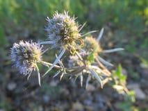 The flower-hedgehog Stock Photos