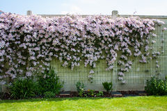 Flower hedgerow on white wall. View of a hedgerow made of pink clematis on a white wall Royalty Free Stock Photos