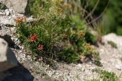 Orange sunrose. Flower Helianthemum known as rock rose, sunrose, rushrose, or frostweed Stock Photos