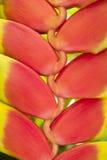 flower heliconia 免版税库存图片