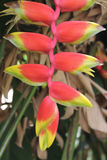 Flower of Heliconia rostrata Royalty Free Stock Photography
