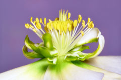 Flower Hellebore Stock Images