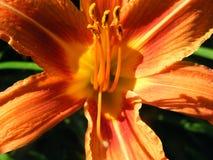 Flower Hemerocallis varieties shot closeup. Flower Hemerocallis varieties close-up shot in the summer Royalty Free Stock Photography