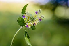 A flower of hemp nettle. Whose buds look like people in wide hats stock photos
