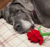 Flower on her pillow Royalty Free Stock Photo