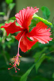 Flower hibiscus Stock Image
