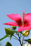 Flower of hibiscus. Isolated on the blue sky background Stock Image