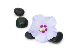 Flower of hibiscus. And massage stones isolated on a white background Stock Photo