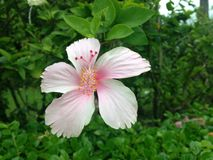 Flower. The Hibiscus flower Royalty Free Stock Image