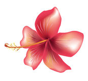Flower hibiscus Royalty Free Stock Photography