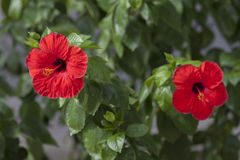 Flower Hibiscus,  Amazing and mysterious hibiscus - flower for th Royalty Free Stock Images