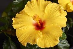 Flower-Hibiscus Stock Photos